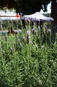 Malezja, Cameron Highlands, Cameron Lavender - lawenda