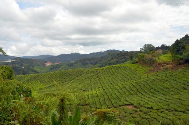 Malezja, Cameron Highlands, pola herbaty na zboczu góry Gunung Brinchang