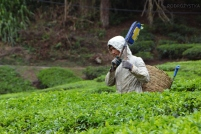 Malezja, Cameron Highlands, zbieranie herbaty z pola na zboczu góry Gunung Brinchang