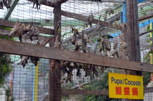 Malezja, Cameron Highlands, Butterfly Garden - kokony