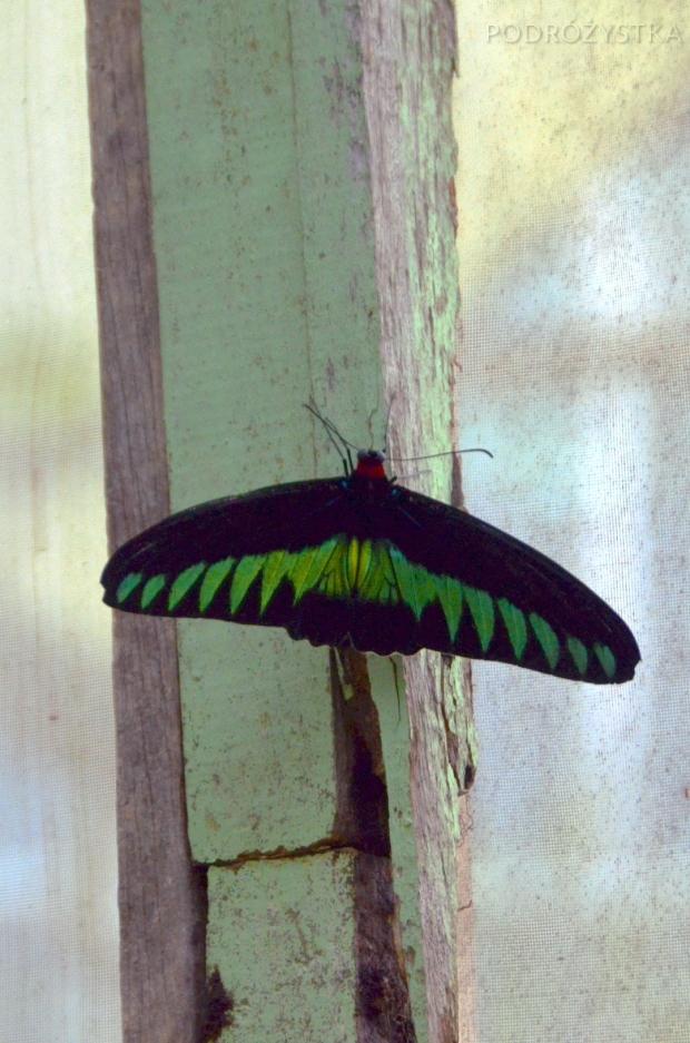 Malezja, Cameron Highlands, Butterfly Garden - motyl