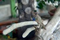 Malezja, Cameron Highlands, Butterfly Garden - kameleon