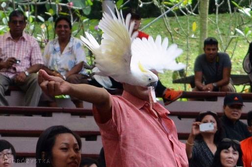 Singapur, Bird Park - Park Ptaków, kakadu