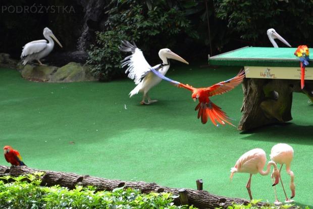 Singapur, Bird Park - Park Ptaków, pokaz