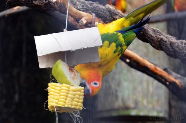 Singapur, Bird Park - Park Ptaków, konura słoneczna