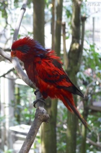 Singapur, Bird Park - Park Ptaków, lora