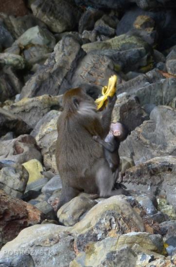 Tajlandia, wyspa Phi Phi, Monkey Beach, małpa z małpiątkiem