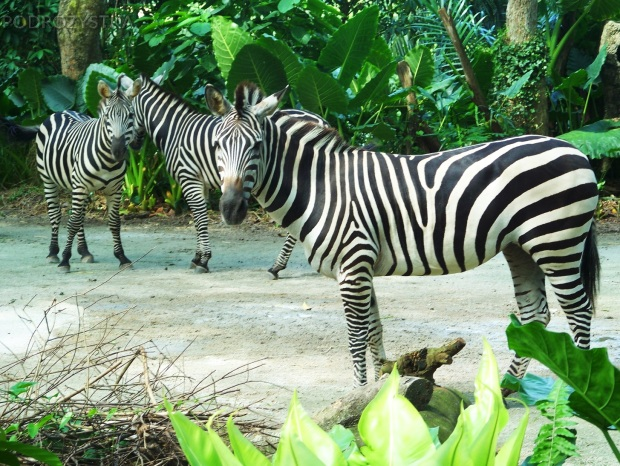 Singapur, Singapore Zoo, zebry