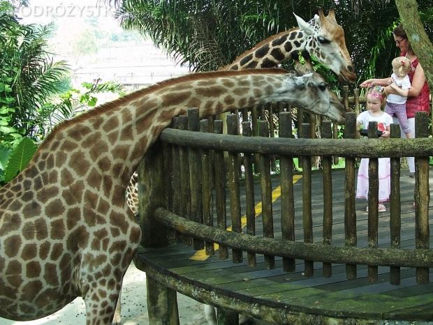 Singapur, Singapore Zoo, karmienie żyraf