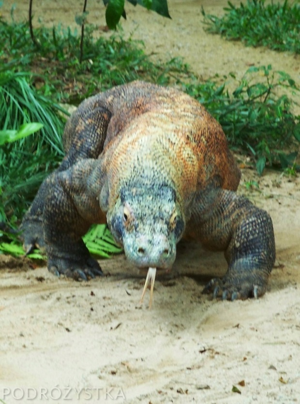 Singapur, Singapore Zoo, komodo