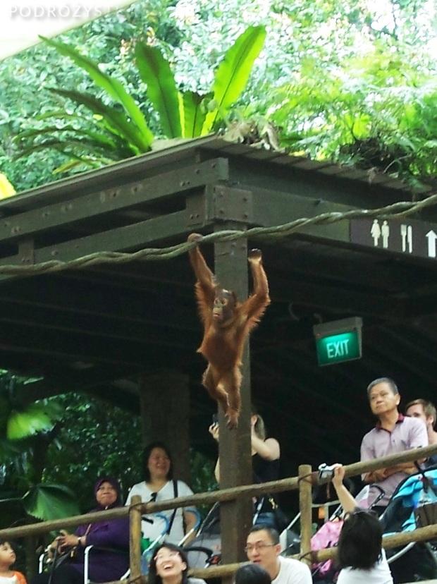 Singapur, Singapore Zoo, orangutani spacer pod liną