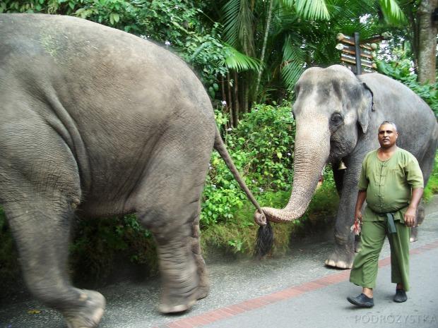 Singapur, Singapore Zoo, słonie
