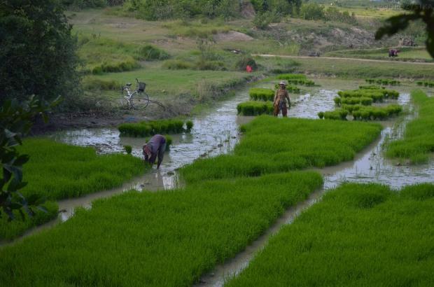 Kambodża, Phnom Penh, Killing Fields, a tuż za płotem ludzie uprawiają ryż