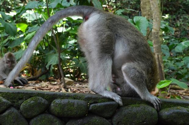 Indonezja, wyspa Bali, adangtegal Mandala Wisata Wenara Wana Sacred Monkey Forest Sanctuary, małpie figle