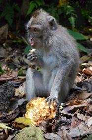 Indonezja, wyspa Bali, Padangtegal Mandala Wisata Wenara Wana Sacred Monkey Forest Sanctuary, małpie figle