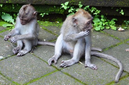 Indonezja, wyspa Bali, Padangtegal Mandala Wisata Wenara Wana Sacred Monkey Forest Sanctuary, maluchy