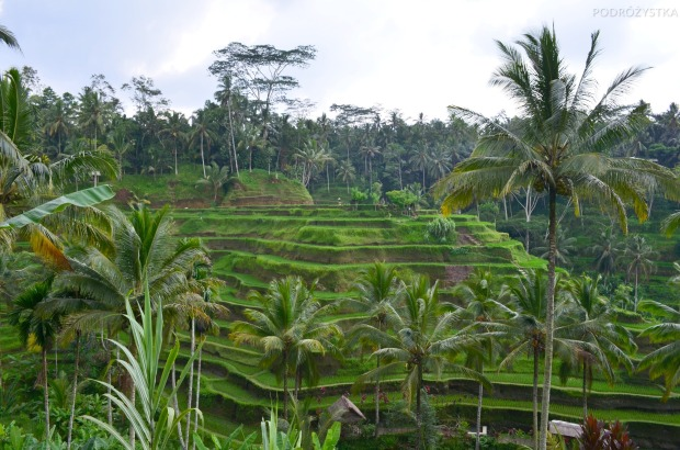 Indonezja, wyspa Bali, tarasy ryżowe