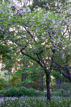 Japonia, Tokio, park Ueno-koen, kwitnąca wiśnia - jedna z ostatnich w tym sezonie!