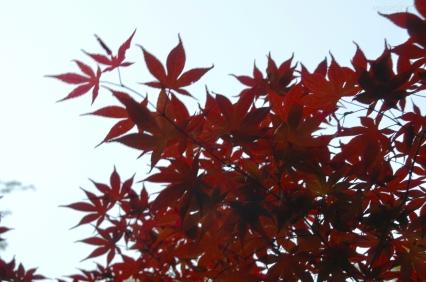 Japonia, Tokio, park Ueno-koen, klon japoński, fantastyczne, czerwone liście