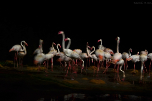 Singapur, Night Safari, flamingi