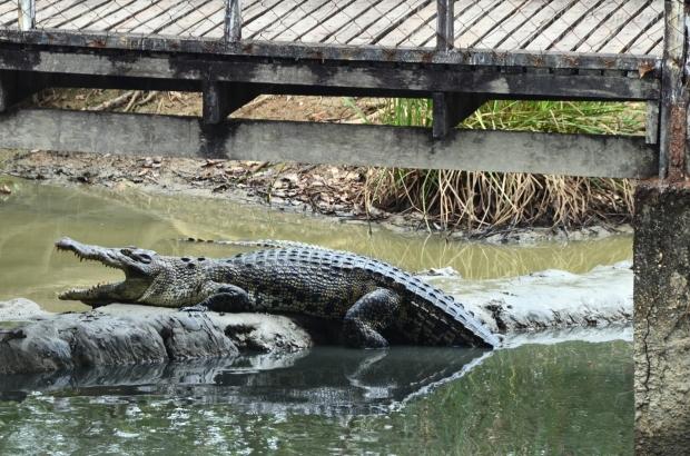 Birma, Yangon, Farma Krokodyli, przystojniak!