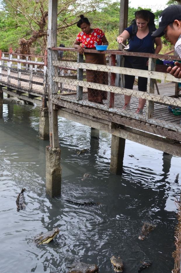 Birma, Yangon, Farma Krokodyli, karmię krokodyle