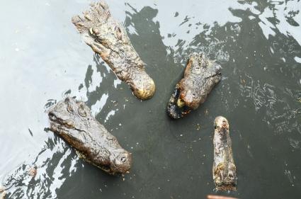 Birma, Yangon, Farma Krokodyli, rzucaj tę rybę!