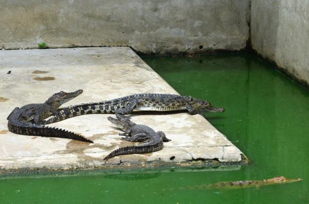 Birma, Yangon, Farma Krokodyli, małe krokodylki