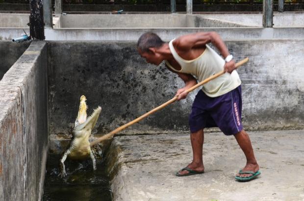 Birma, Yangon, Farma Krokodyli, zabawy z krokodylem