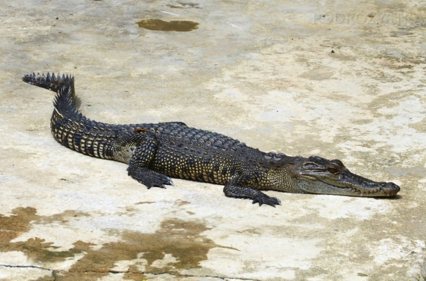 Birma, Yangon, Farma Krokodyli, mój ulubieniec!