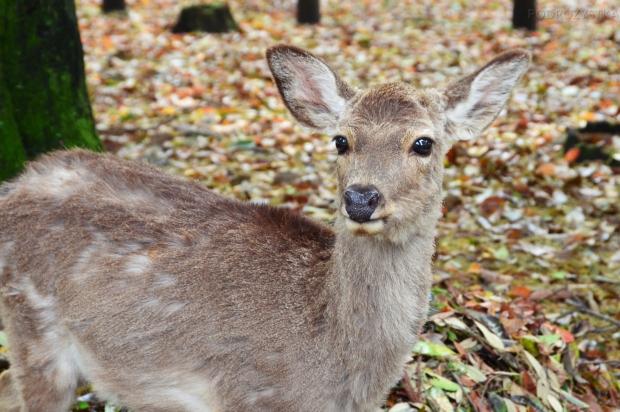 Japonia, Nara, Nara Park - jelonek
