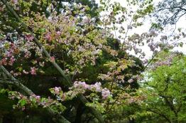 Japonia, Nara, Nara Park, więcej kwitnących wiśni