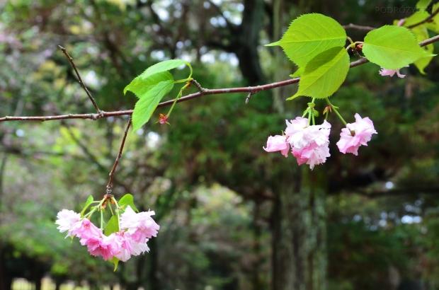 Japonia, Nara, Nara Park, kwitnące wiśnie