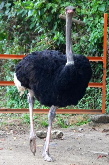 Malezja, Port Dickson, PD Ostrich Show Farm, struś