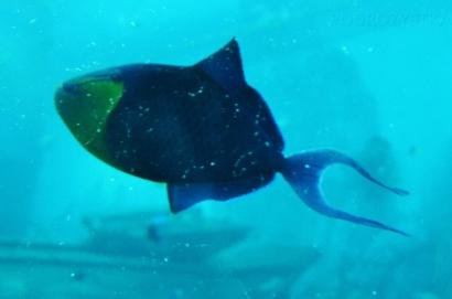Singapur, SEA Aquarium, rozdwojenie ogona