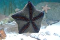 Singapur, SEA Aquarium, rozgwiazdy