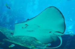 Singapur, SEA Aquarium, pocieszna płaszczka