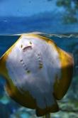 Singapur, SEA Aquarium, smutna płaszczka