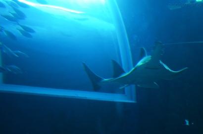 Singapur, SEA Aquarium, ryba-piła
