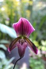 Singapur, Botanic Garden (Ogrody botaniczne), National Orchid Garden (Narodowy Ogród Orchidei)