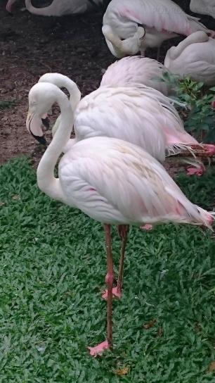 Malezja, Kuala Lumpur, Bird Park (Park Ptaków), flamingi!