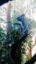 Australia, Sydney, Wildlife Zoo, koala jedzący liście eukaliptusa