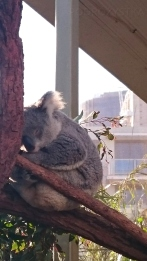 Australia, Sydney, Wildlife Zoo, śpiący koala