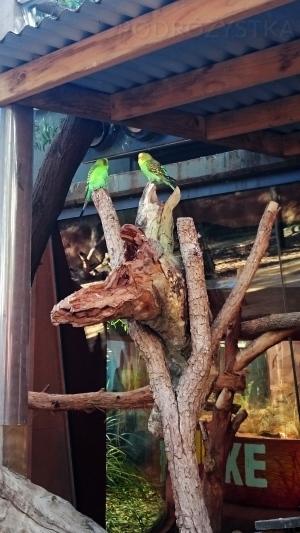 Australia, Sydney, Wildlife Zoo, papużki nierozłączki <3