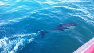 Australia, Jervis Bay (zatoka Jervis), delfin