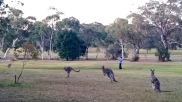 Australia, Vincentia, kangury!!