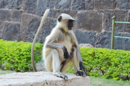 Indie, Maharasztra, okolice Aurangabad, Fort Daulatabad, makak hulman