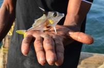 Indie, Kerala, Kochi (Koczin), własnoręcznie złowiona na Chinese Fishing Nets - Chińskich sieciach rybackich